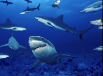 Picture of sharks menacing sharks in ocean