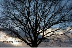 Picture of large bare tree set against bleak winter sky